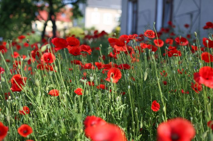 Red Corn Poppy Filed Beauty In Nature Close-up Corn Poppy Field Field Poppy Flower Klatschmohn Meadow Flowers Mohn Mohnblume Mohnblumen Mohnblumenfeld Mohnblüte Nature No People Outdoors Red Red Poppy