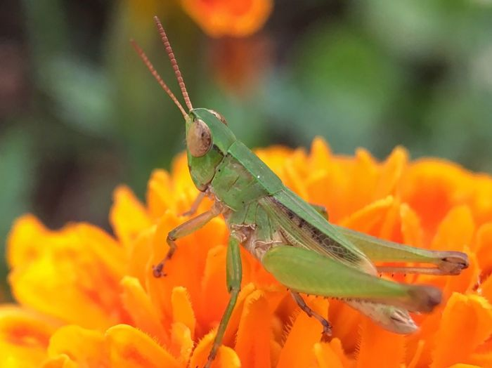 Macro Photography Macroinsects Grasshopper
