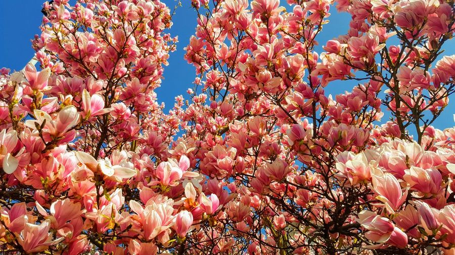magnolia Tree Flower Flower Head Branch Springtime Pink Color Blossom Backgrounds Sky Close-up Magnolia Botany In Bloom Plant Life Flower Tree Pollen Blooming