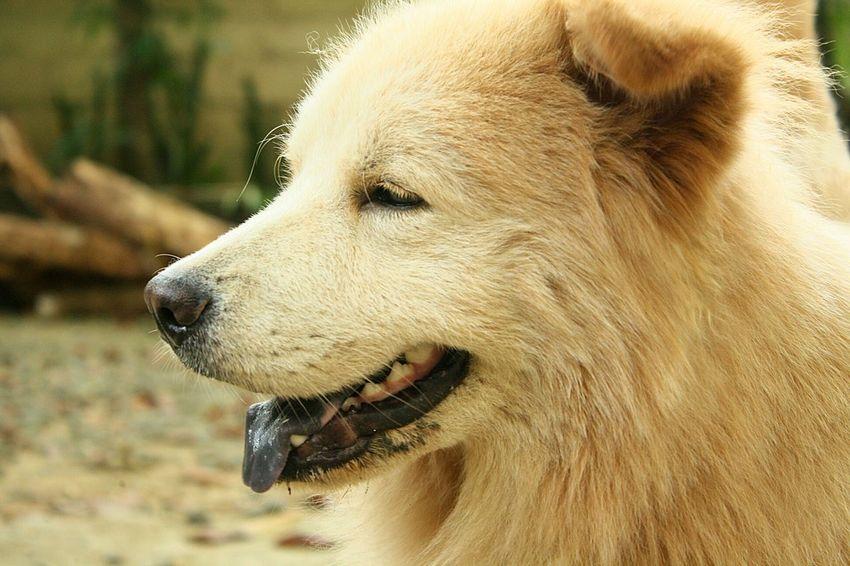 Dogs Of EyeEm Mixbreed Chowchowretreiver Chowchowmix🐶 Pets Dog Profile View Close-up Retriever Golden Retriever Animal Hair Animal Tongue Animal Nose Animal Eye Hairy  Animal Mouth