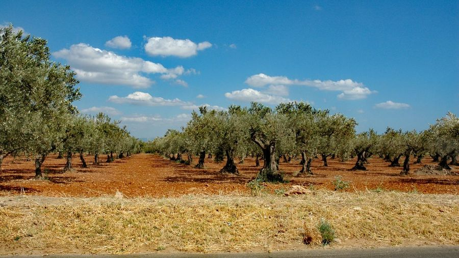 Olive Oil On The Plant Tree Agriculture Cloud - Sky Sky Nature Growth Landscape Field Rural Scene Day Outdoors Olive Tree Scenics No People Beauty In Nature Food