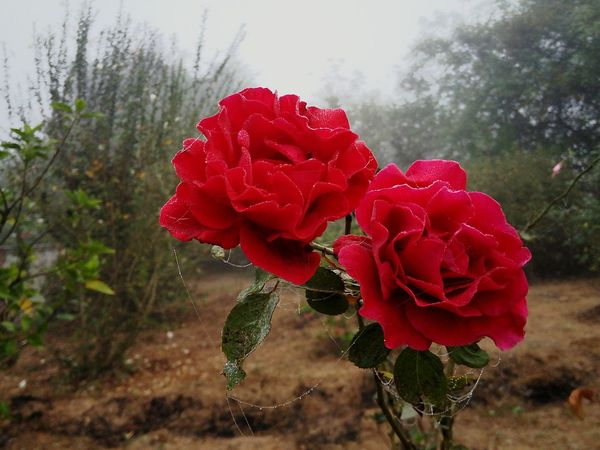 Rose Red Flower Close-up