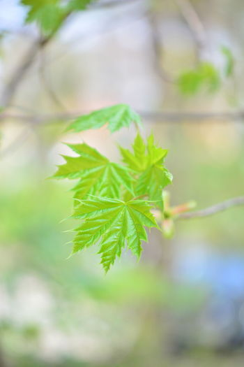 Leaf Plant Part Plant Green Color Growth Focus On Foreground Close-up Nature Beauty In Nature Day Selective Focus No People Outdoors Tree Freshness Branch Herb Plant Stem Leaves Tranquility