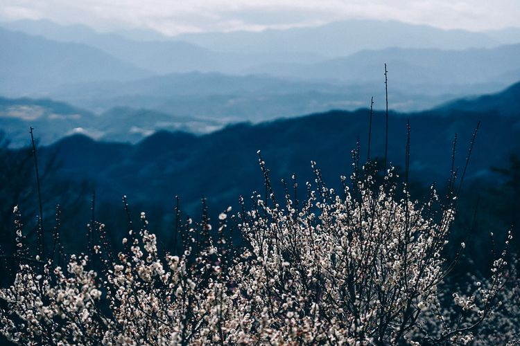 Plum flowers and mountains Japan Photography Japan Beauty In Nature Flower Plum Plum Blossom EyeEmNewHere EyeEm Best Shots Mountain Nature Outdoors Landscape Scenics Beauty In Nature No People