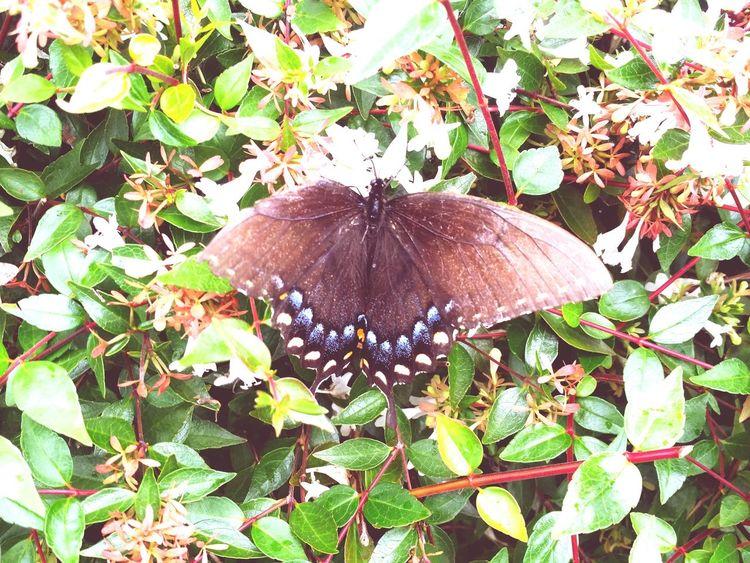 Butterfly on a bush lol ! Nature Close-up Beauty In Nature Butterfly Butterfly - Insect Outdoors EyeEm Best Shots