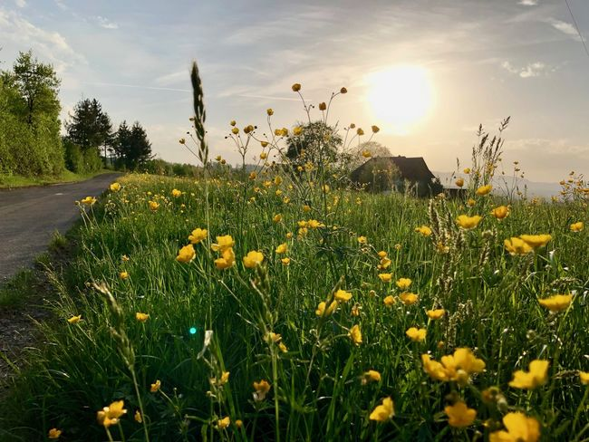 Springtime HDR Beauty In Nature Field Flower Flower Head Flowering Plant Freshness Growth Land Nature Plant Sky Springtime Sun Sunlight Yellow