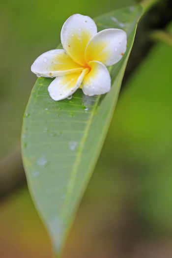 Morning drops from Lombok #FirstEyeEmPicture #FirstPhoto #firstpicture Beauty In Nature Close-up Day Dew Drop Flower Flower Head Fragility Freshness Green Color Growth Nature No People Outdoors Plant Water Wet