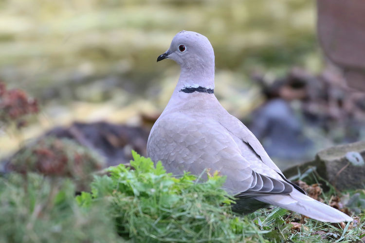 Collared Dove Bird Vertebrate Animal Themes Animal Animals In The Wild Animal Wildlife One Animal Perching Dove - Bird Day No People Close-up Mourning Dove Nature Pigeon Focus On Foreground Selective Focus Plant Land Outdoors