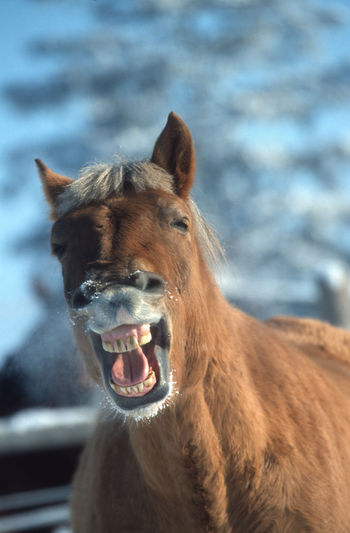 Yawning horse, Haflinger with snowy nostrils. Animal Head  Snowy Horse Snowy Nostrils Animal Wildlife Mouth Open Portrait No People Horse To Get Out Of Bed To Be Up Earl Wake-up Combat Fatigue Fatigue  Looking At Camera Animal Themes Funny Yawning Yawning Horse Close-up Haflinger Close-up Close-up Haflinger Yawning Horse Dynamic Animal Photography