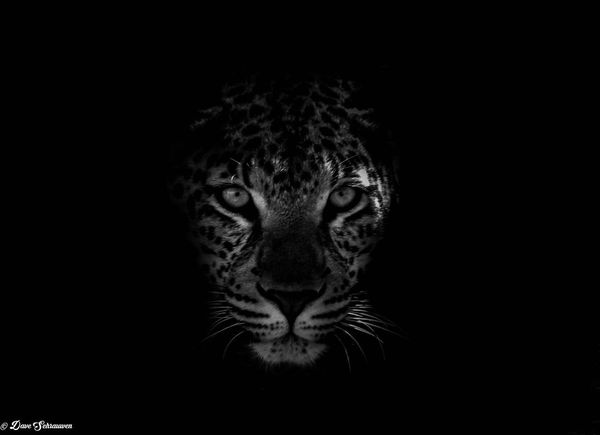 Black Background One Animal Headshot Looking At Camera Leopard Dark Travel Adventure South Africa Is Amazing Nature Big Cat