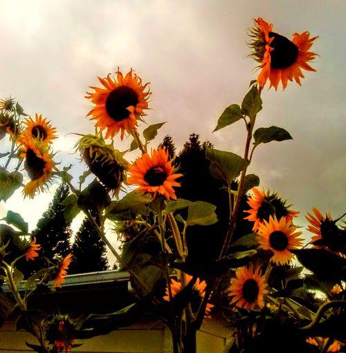Wild Sunflowers Sunflower On A Stormyday Sunflowers🌻 Sunflower🌻 Sunflowerlovers Sunflower Garden I 💜sunflowers. Labor Day Sunflowers Sunflowers ♥ Sunflower Magic Sunflowers And Clouds Sunflower Plant Sunflower 🌻