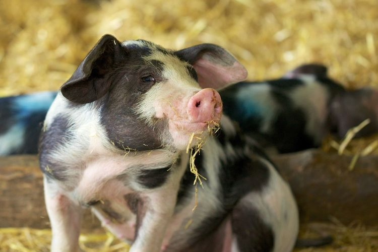 Close-up of piglet
