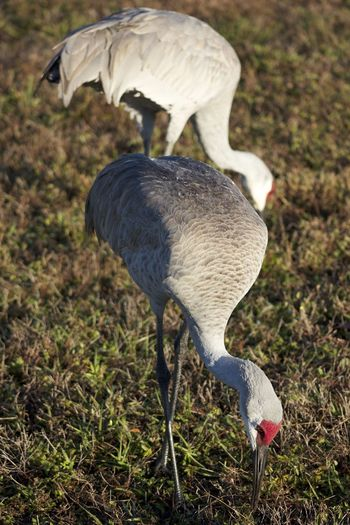The Sandhill Crane at lunch. Birds Wildlife Birds Of EyeEm  Birds🐦⛅ Sunlight Animal Animal Neck Animal Themes Animal Wildlife Animals In The Wild Beak Bird Birds Birds_n_branches Crane Crane - Bird Day Fethers Field Grass Grey Bird Land Nature No People Outdoors Red Beck