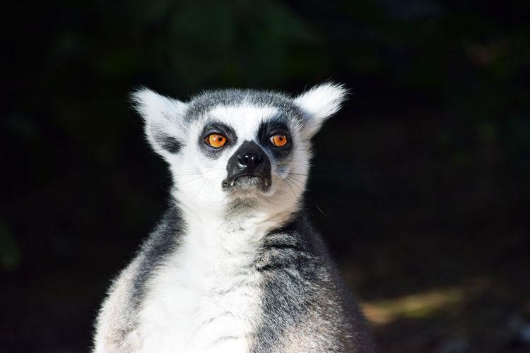 Close-up of lemur looking away