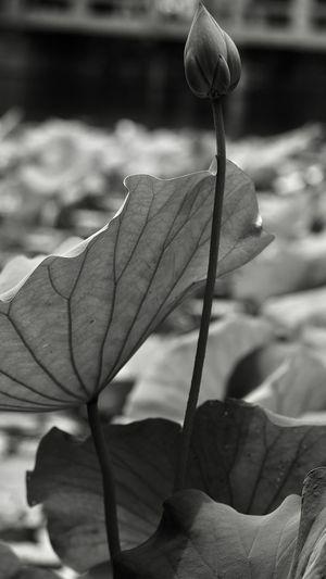 荷花 Close-up Plant Focus On Foreground Fragility Nature Flowering Plant