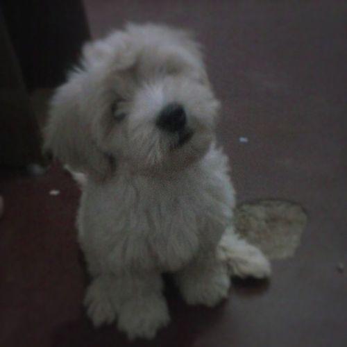 Oi, eu sou uma bolinha de pelos fofinha e cheia de amor, me ama de volta? Dog Fofis Cute Love baby Dexter cachorrinho instalike instaphoto. like4like