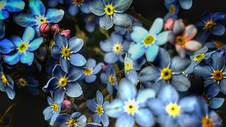 Nature Plants 🌱 Plants Check This Out Flowerporn Blumen *~* Flower Collection Creative Light And Shadow Flowers,Plants & Garden Vergissmeinnicht
