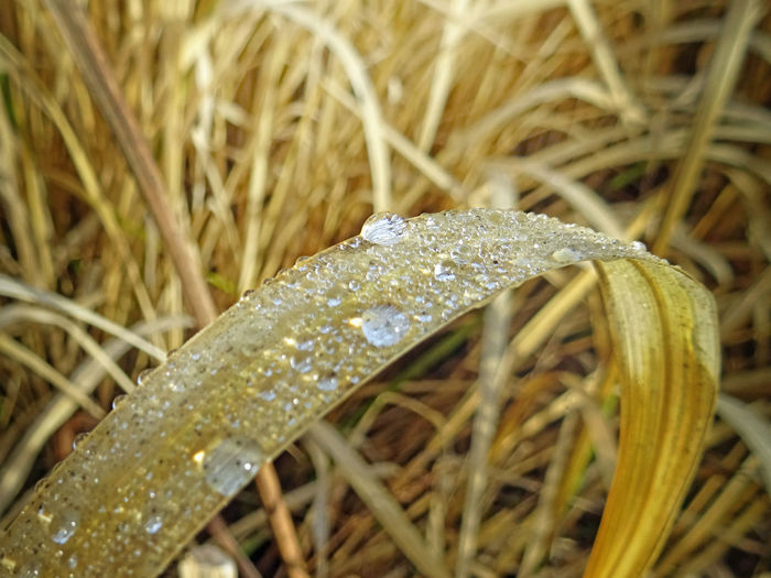 Dew Water Droplets Water Drops Beauty In Nature Close-up Day Dew Drops Drop Fragility Freshness Golden Light Grass Growth Macro Mornig Dew Nature No People Outdoors Plant Straw Water Water Drop Waterdrops Wet Yellow Color