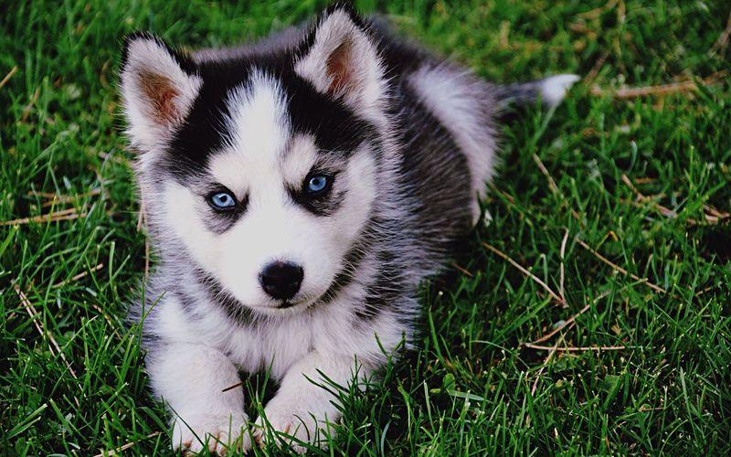 Portrait Of Husky Puppy Relaxing On Grassy Field