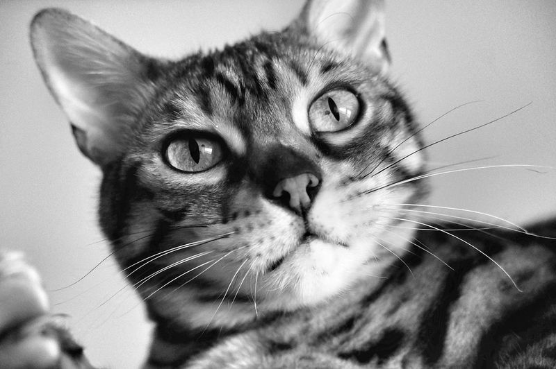 Bengal cat Bengal Cat Bengal Cat Lover Black And White Blackandwhite Monochrome Cats Of EyeEm Catsoftheworld Black & White Animal In Black And White Cat In Black And White Pets Portrait Feline Domestic Cat Looking At Camera Whisker Close-up Cat At Home Animal Face Animal Eye Animal Nose Pampered Pets Adult Animal