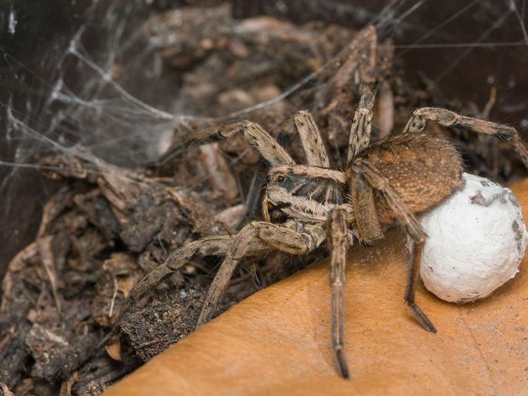 Spider Hogna radiata with her eggsack Hogna Radiata Spider Close-up Day Eggsack Lycosidae Nature No People Tarantula