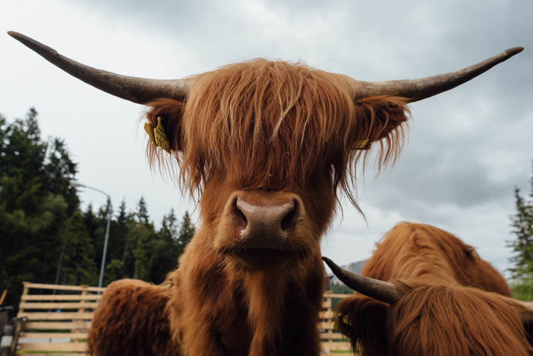 Animal Head  Close-up Sky Animal Body Part One Animal Domestic Animals Horned Outdoors Animal Themes Portrait No People Rural Scene Day Mammal Cow Scottish Highland Cattle