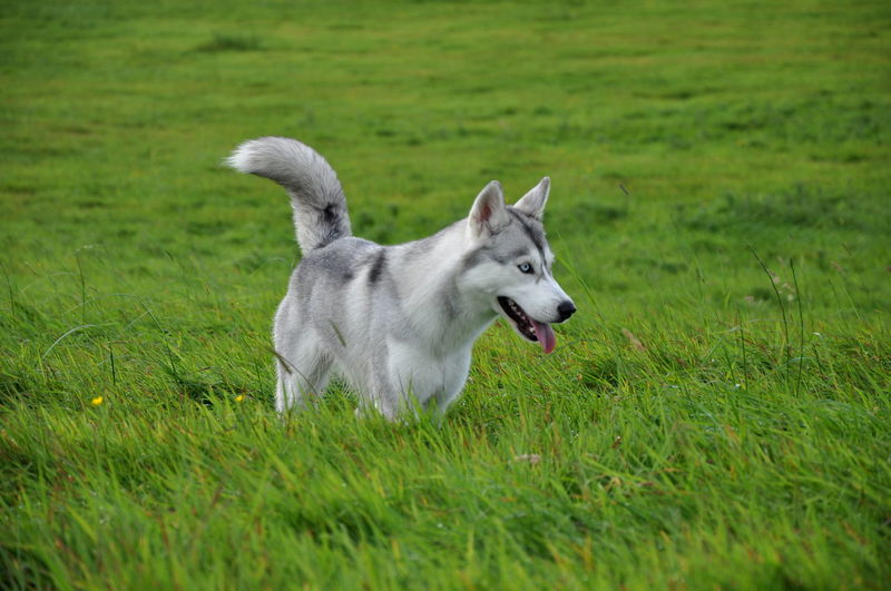 Alaskan Blue Eyes Dogs Grass Animal Themes Day Dog Domestic Animals EyeEm Dogs Grass Grey Growth Husky Mammal Nature No People One Animal Outdoors Pets Siberian Silver  Wolf