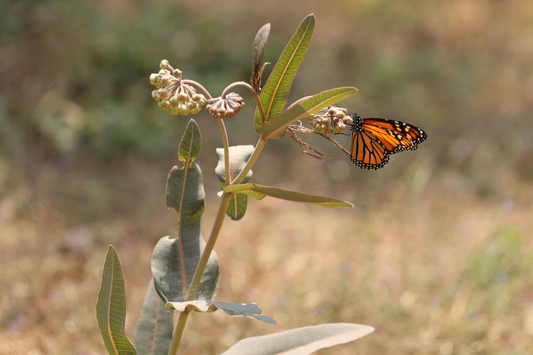 Monarch butterfly in landscape, cuernavaca, Mexico. fotos: Berush Kalavera Plant Relaxing Insect Monarch Butterfly Nature No People One Animal Plant