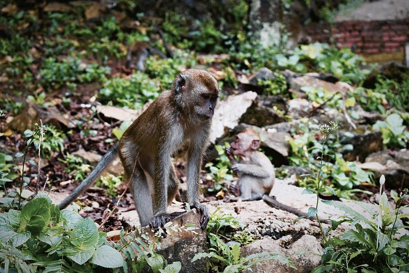 Animal Themes Animals In The Wild Mammal Nature One Animal Outdoors Monkey No People Animal Wildlife Day Primate Tail Baboon Close-up Kuala Lumpur, Malaysia Hindu Sacred Mountain Batu Caves Scenics Travel Destinations EyeEmNewHere