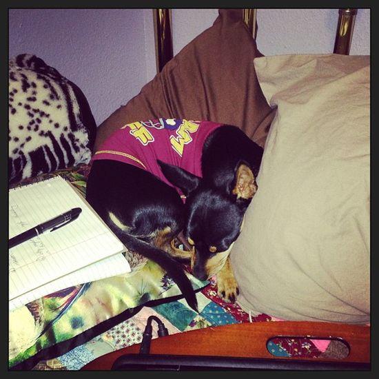 He loves his pillows!! Pillows Squishies Fluffies Hunter mybaby myson mymonster littleman minpin terriermix chihuahua toughguyclub jammytime mimis