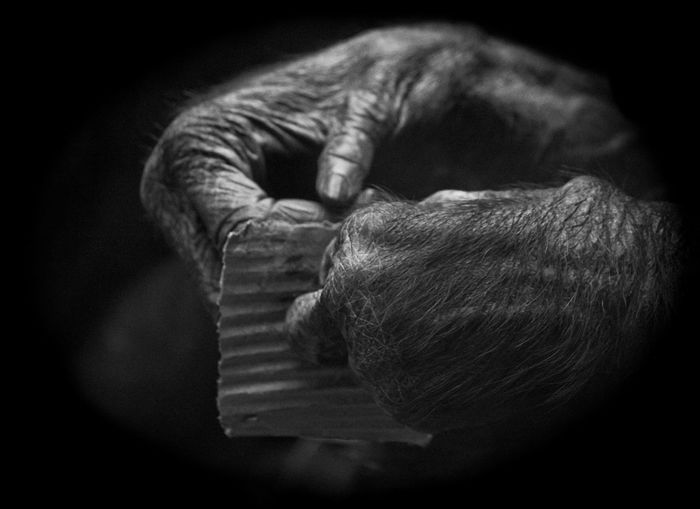 Cropped image of chimpanzee holding paper