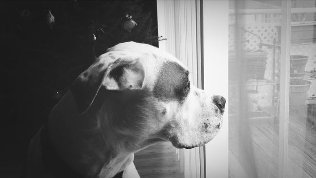 KiMartinez Photography Jomo B&w American Bulldog