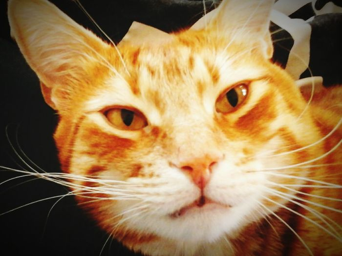 My handsome Rascal 💛💚💛🐾 Gingercatsrule Hi Cat Catsofeyeem Gingerkitty Gingercatsofinstagram Hayward, Ca. Catstarcat Pawsome Animals Paws And Purrs Loveallanimals Fluffy ❤️🔥❤️ Catlovers Beautiful Creatures Cat Eyes Paws Ginger Cat