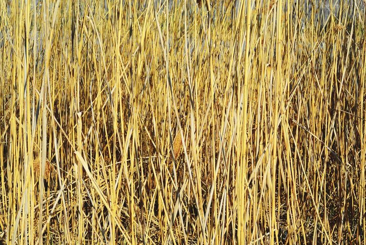 Wall Of Reed Reed Stacks Shore Nature Wall Of Reed Reed Grass Reeds Full Frame Backgrounds No People Pattern Textured  Day Abundance Field Yellow Growth Nature Outdoors Agriculture Plant Abstract
