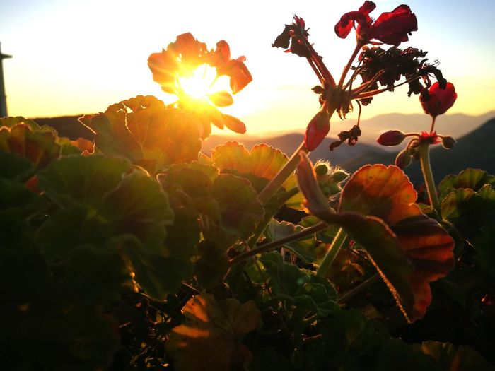 flowerSun Sun Sunset Silhouettes Flowers,Plants & Garden Flowers Of EyeEm Flowersunset Nature Sunset Growth Fruit Back Lit Plant Tree Outdoors Sunlight Healthy Eating Food Freshness Rural Scene Beauty In Nature No People Scenics Agriculture Field Leaf Sky