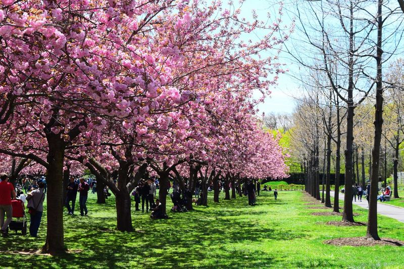 Cherry blossom festival at Brooklyn botanic garden Cherry Blossoms BrooklynBotanicGarden