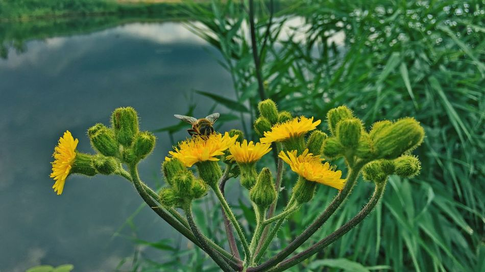 Insect Plant Flowering Plant Growth Flower Yellow Beauty In Nature Freshness Close-up Green Color No People Outdoors Nature Day
