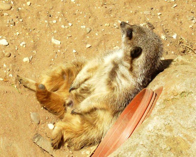 Sunbathing Meerkat Meerkat Through My Eyes Walking Around EyeEm Best Shots - Nature Animal Photography EyeEmAnimalLover Sunny Day Sunbathing☀