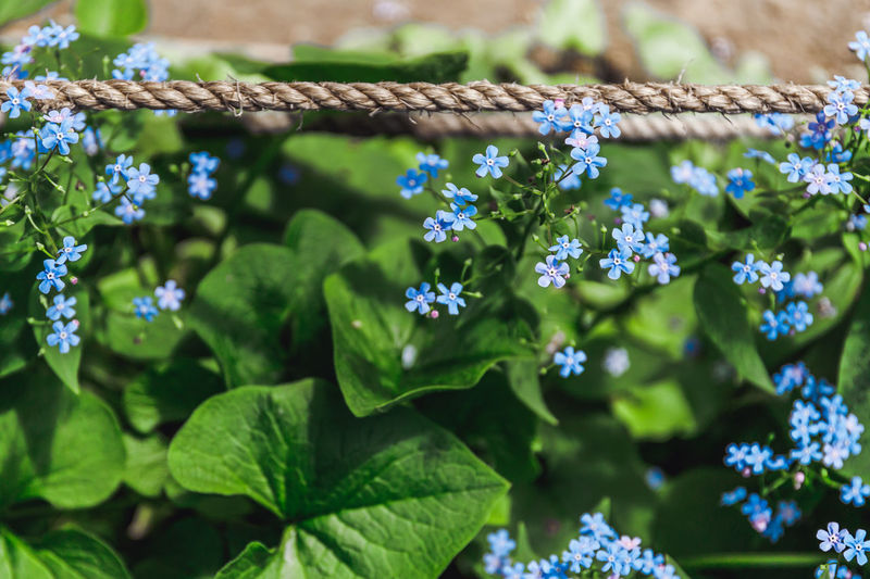 Forget Blue Flowers Flower Background Spring Top Above Nature Forget-me-not Green Road Village Country Blossom Plant Blooming Garden Beauty Summer Nots Floral Field Myosotis View Macro Season  Wildflower Bloom Night Light Beautiful Natural Petal Botanical Grass Forgetmenot Springtime Meadow Leaf Plant Part Growth Freshness Beauty In Nature Flowering Plant Fragility Vulnerability  Green Color Close-up Day No People Selective Focus Focus On Foreground Outdoors Purple Flower Head The Foodie - 2019 EyeEm Awards