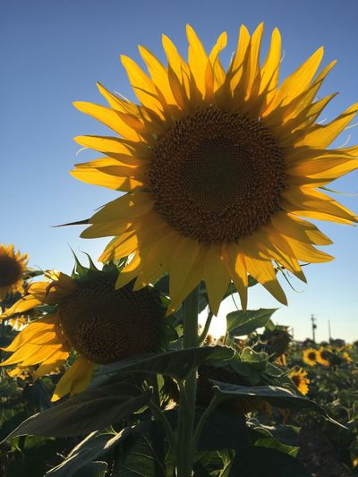 Sunflower fields, sea of yellow Flowers Galore, Amazing Display. Golden Moment