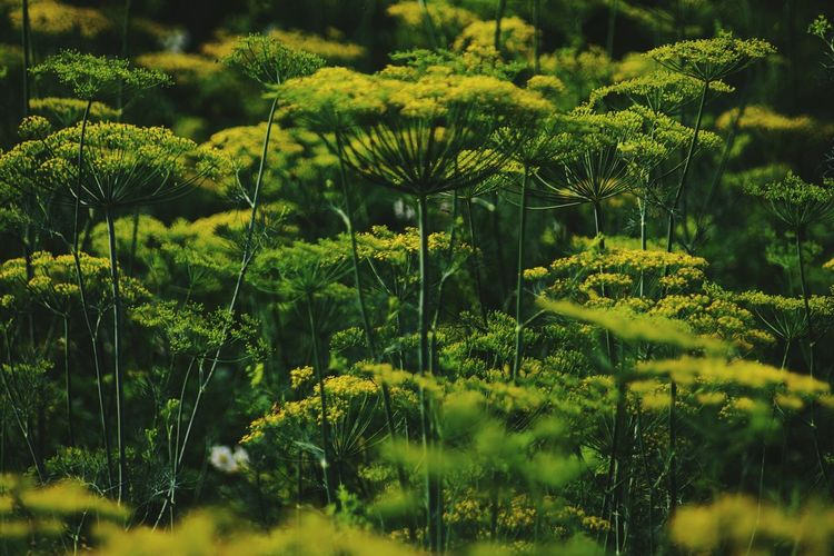 Low Section EyeEm Best Shots Sunlight Summer Green Color No People 😇😇😇 No People Sunlight ☀ Flower Collection Plant Nature Outdoors Dill