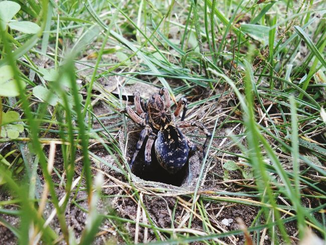 Spider Wolfspider Pok Naittakert Kert Garten Fu Zöld Barna Naturelovers Nature Grass Outdoors Animals In The Wild One Animal No People Day Close-up Makro