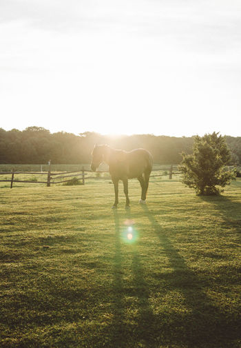 Sunrise Animal Themes Beauty In Nature Day Domestic Animals Field Full Length Grass Grazing Landscape Lens Flare Livestock Mammal Nature No People One Animal Outdoors Shadow Sky Standing Sunbeam Sunlight Tranquil Scene Tranquility Tree