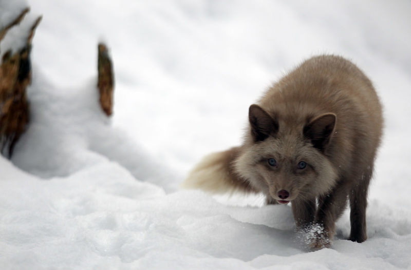 Pastellfuchs im Schnee Animal Animal Head  Animal Photography Animal Themes Animal Wildlife Animal_collection Animals Animals In The Wild Beauty In Nature Close-up Day Fox Fox Species Foxes Fuchs Looking At Camera Mammal Nature No People Outdoors Pastellfuchs Portrait Snow Winter Wintertime