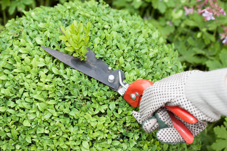 Close-up of hand cutting plants with tool