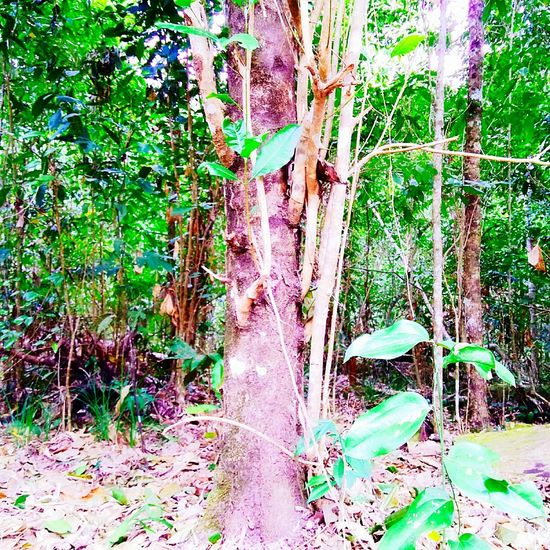 Rainforest Australia Natural Photography No People Beauty In Nature Outdoors, Outside, Open-air, Air, Fresh, Fresh Air, Scenics Close-up Growth Forest Tree Trunk