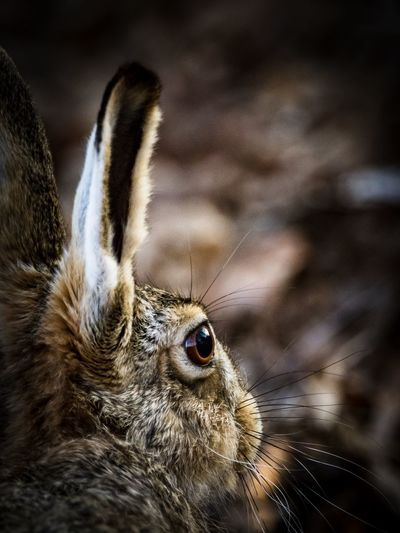 Close-up of an hare