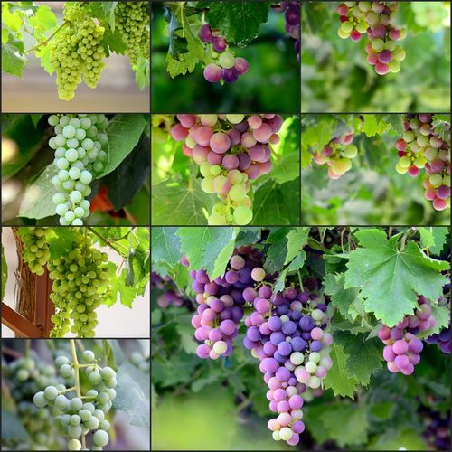 grapes collage Agriculture Close-up Cluster Collage Colors Day Food Food And Drink Freshness Fruit Grape Grapes On The Vine Growth Healthy Eating Leaf Nature No People Outdoors Ripe Grape Vine