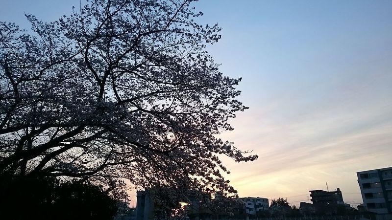 Sakura 桜 サクラ Cherry Blossoms Sunset 夕焼け空 桜の木 夕焼け空と桜の木