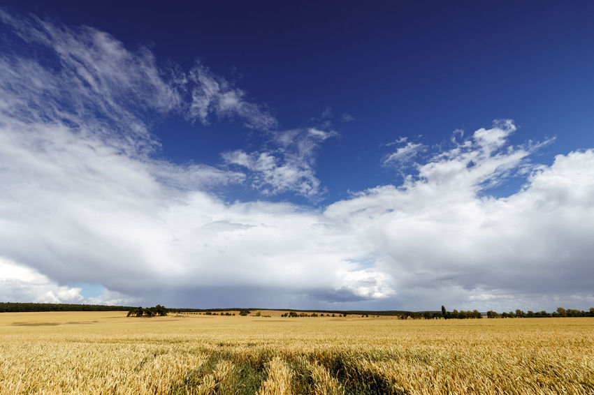 Summer vibes Agriculture Beauty In Nature Blue Blue Sky Cloud - Sky Cornfield Crop  Day Environment Field Horizon Horizon Over Land Land Landscape Nature No People Outdoors Plant Rural Scene Scenics - Nature Sky Tranquil Scene Tranquility Weizen